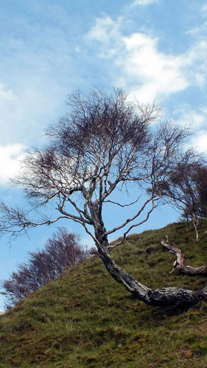 Wind blown tree on a slope