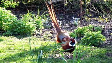 Cock Pheasant - right click on image to get a new window displaying a 1920x1080 image to download