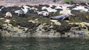 Harbour Seals from off Isle Martin - right click on image to get a new window displaying a 1920x1080 image to download
