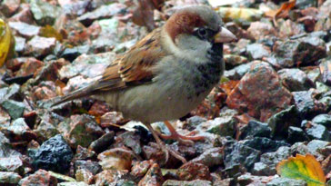House Sparrow - right click on image to get a new window displaying a 1920x1080 image to download