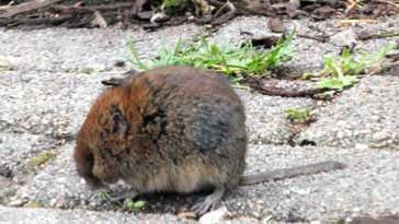 Field Vole - right click on image to get a new window displaying a 1920x1080 image to download