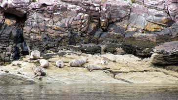 Harbour Seals (Phoca Vitulina) - right click on image to get a new window displaying a 1920x1080 image to download