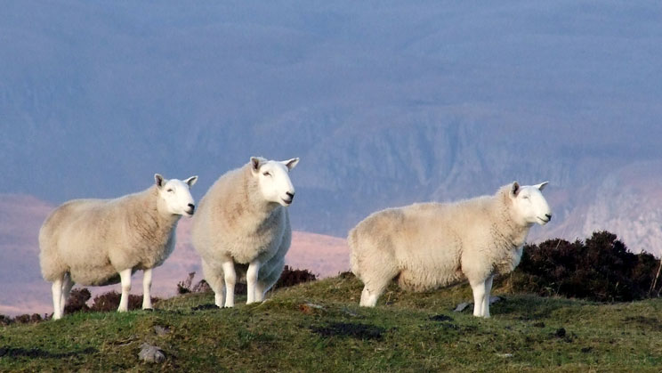 Group of Sheep - right click on image to get a new window displaying a 1920x1080 image to download