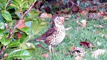Song Thrush - right click on image to get a new window displaying a 1920x1080 image to download